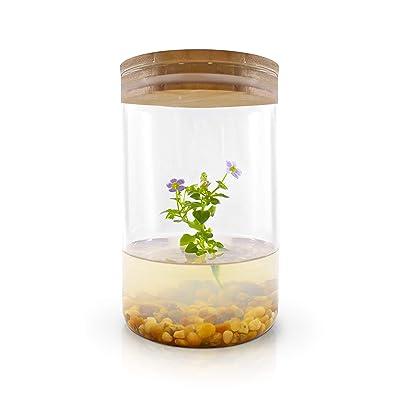 Live Flower Terrarium, Persian Violet (Exacum Affine), Self-Growing, Maintenance Free, Blooming All Season, Great for Work, Home, Unique Gift! : Garden & Outdoor