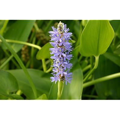 POND PLANT, PICKEREL BLUE : Garden & Outdoor