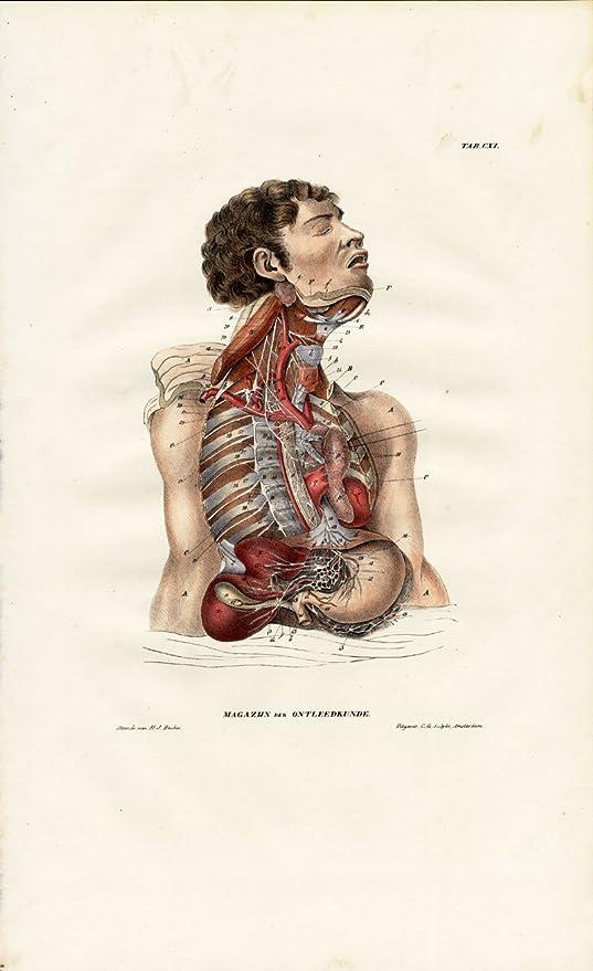 Amazon Antique Anatomy Print Neurology Nerve Stomach Solar