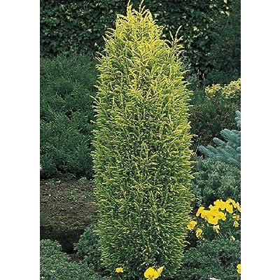 """AchmadAnam - 4"""" Pot - Gold Cone Juniper Juniperus communis, Plant, Tree, Bulb : Garden & Outdoor"""