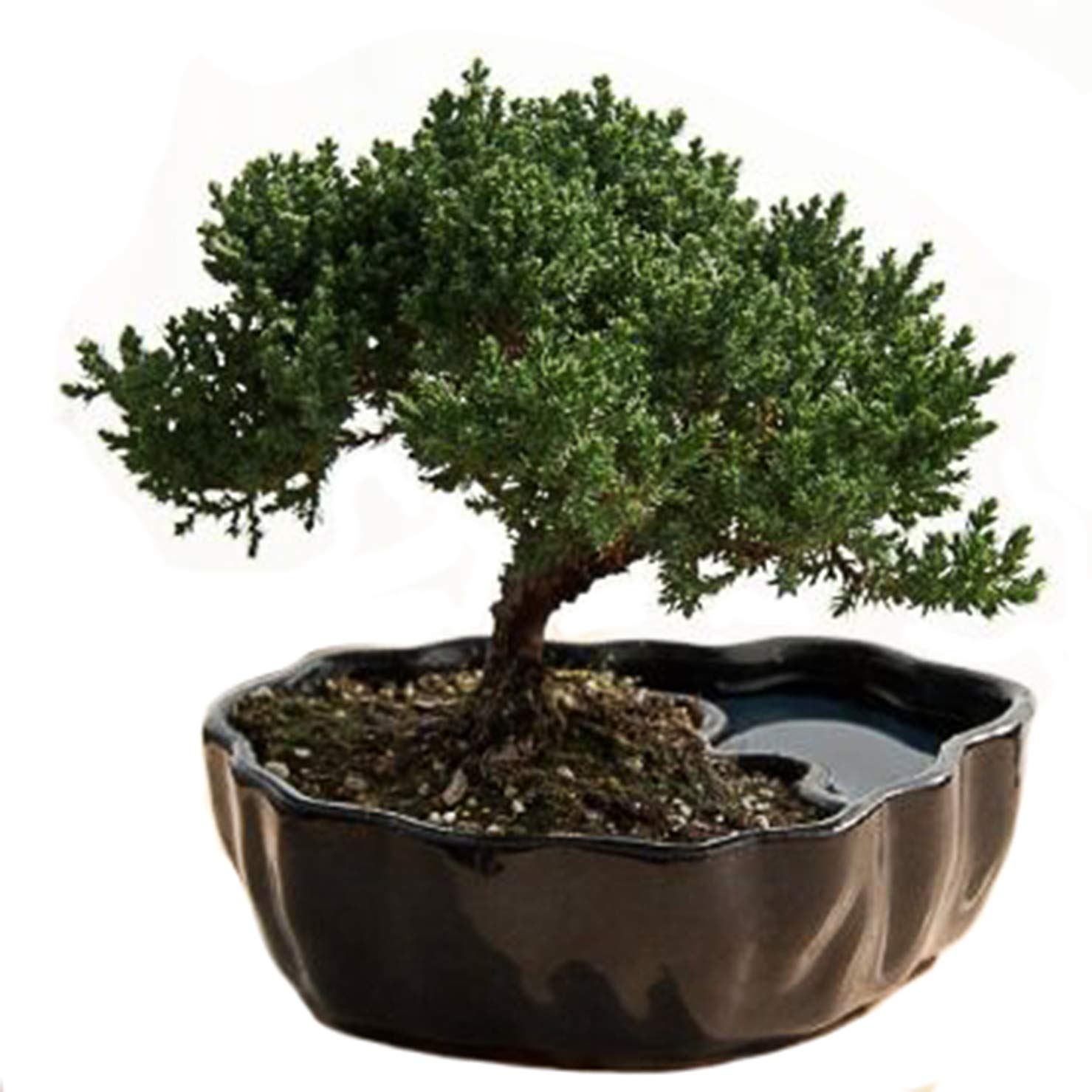 Zen Reflections Juniper Bonsai by 9GreenBox