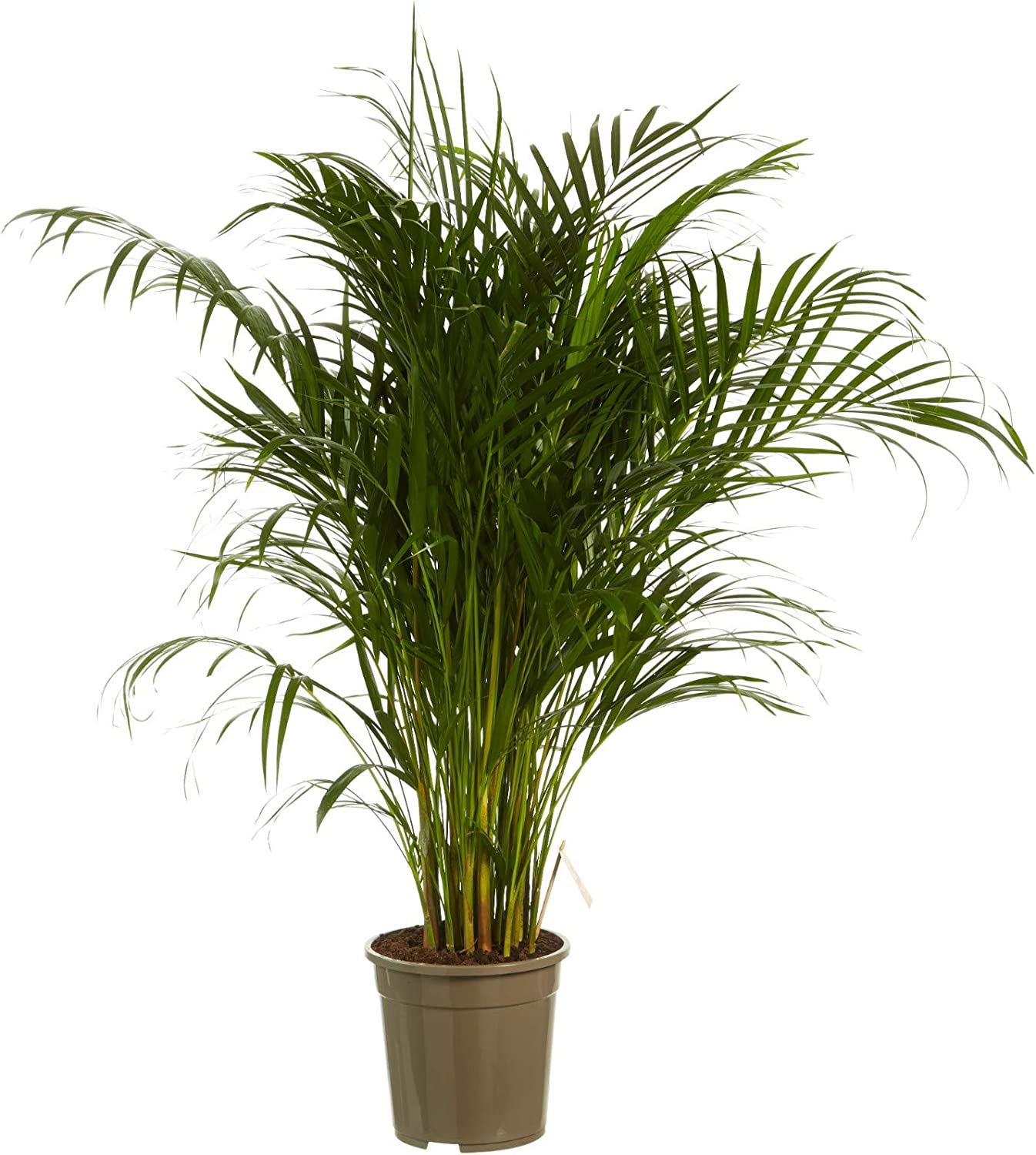 Areca//Dypsis lutescens Golden Cane Palm with Anthracite Pot as a Set BOTANICLY Indoor Plant Height: 100 cm