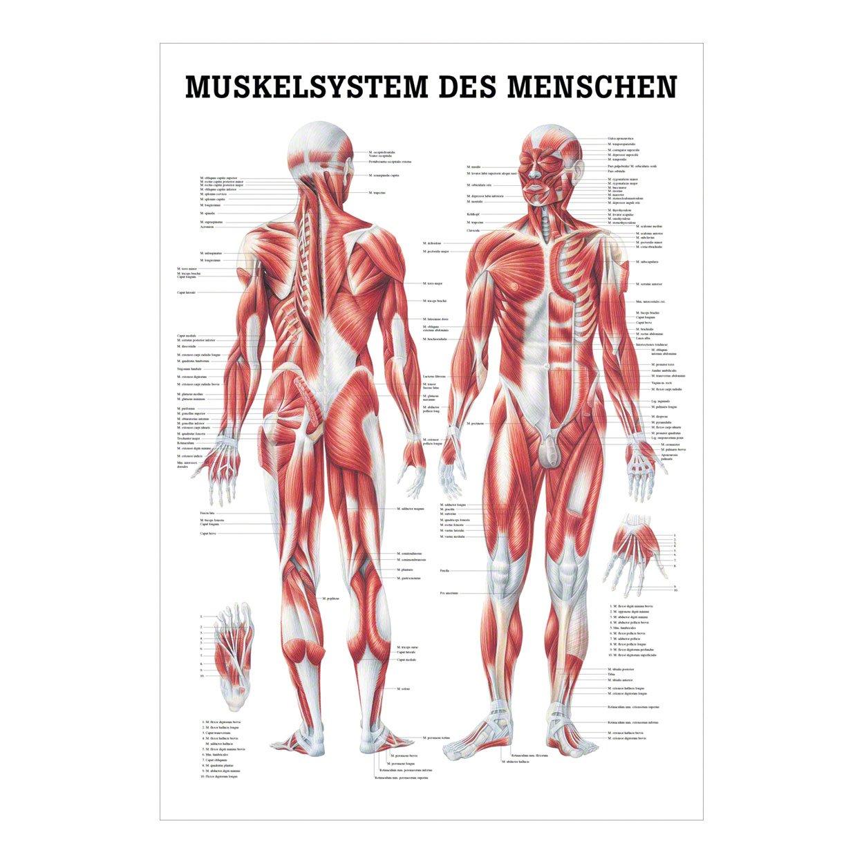Anatomisches Poster \