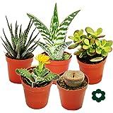 5 different succulents 5,5cm pot in set