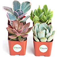 Shop Succulents | Premium Pastel Collection of Live Succulent Plants, Hand Selected Variety Pack of Mini Succulents | Collection of 4