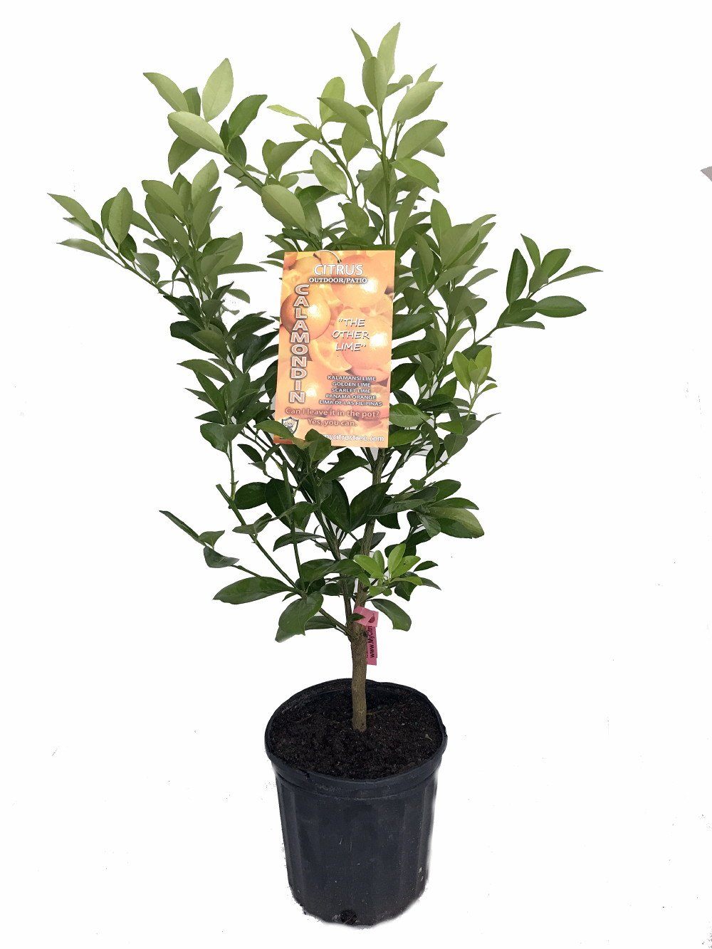 Panama Orange Tree - Calamondin- Citrus mitis - 6'' Pot - No Ship to CA,FL,TX, AZ