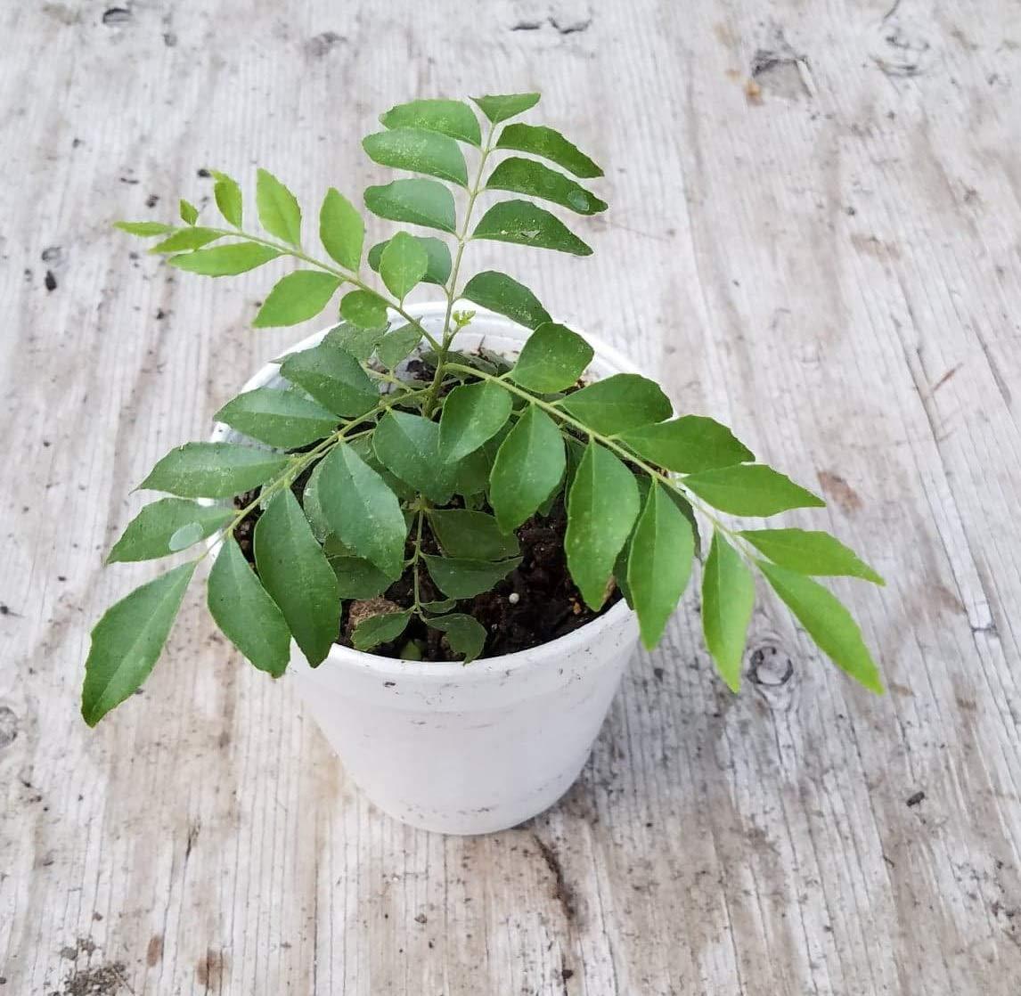 Kadi Patta, Curry Leaf Tree (Murraya koenigii), Live Plant, 4 inch pot