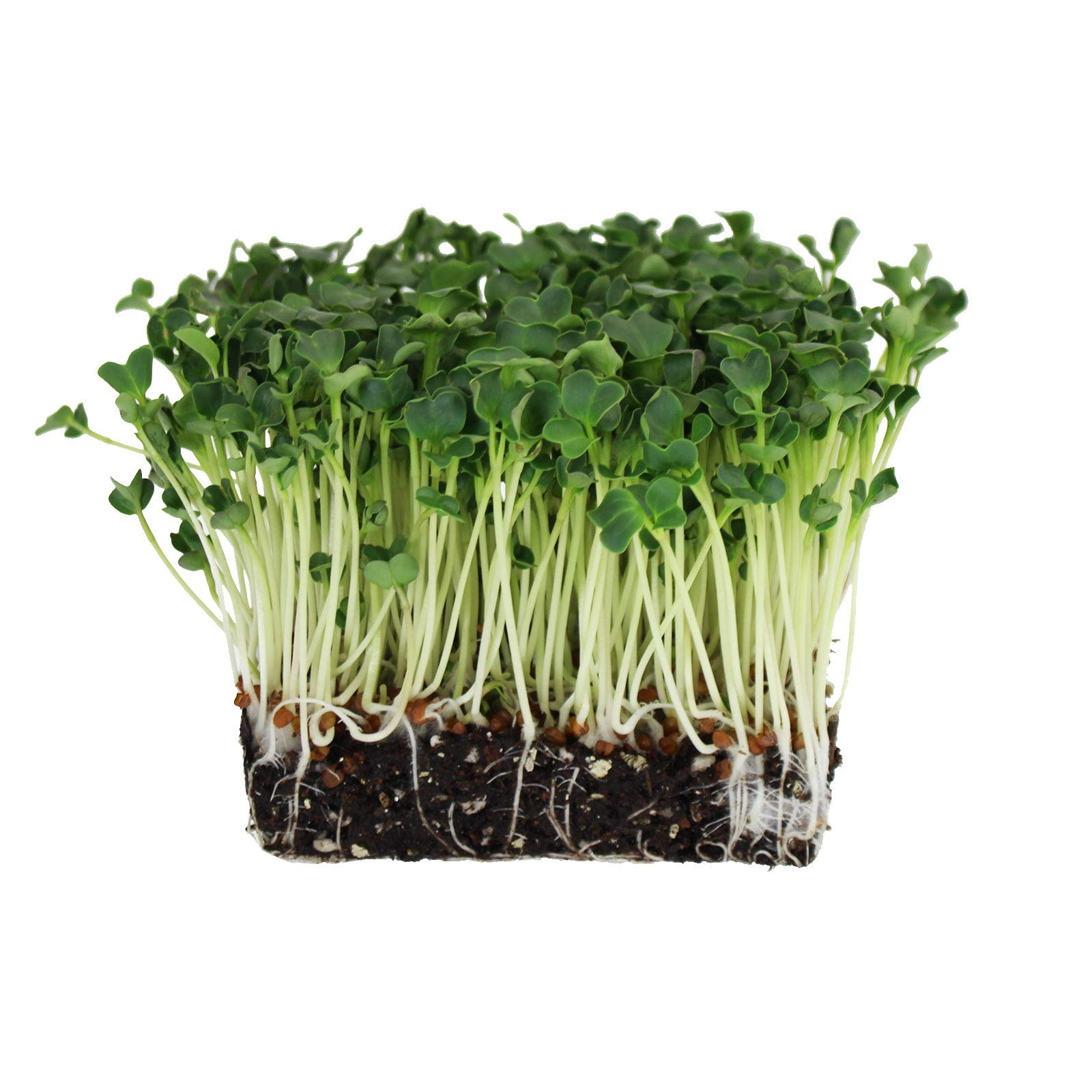 Organic Daikon Radish Sprouting Seeds - 5 Lb Bag - Non-GMO, Heirloom Garden, Sprout and Microgreen Growing Seed
