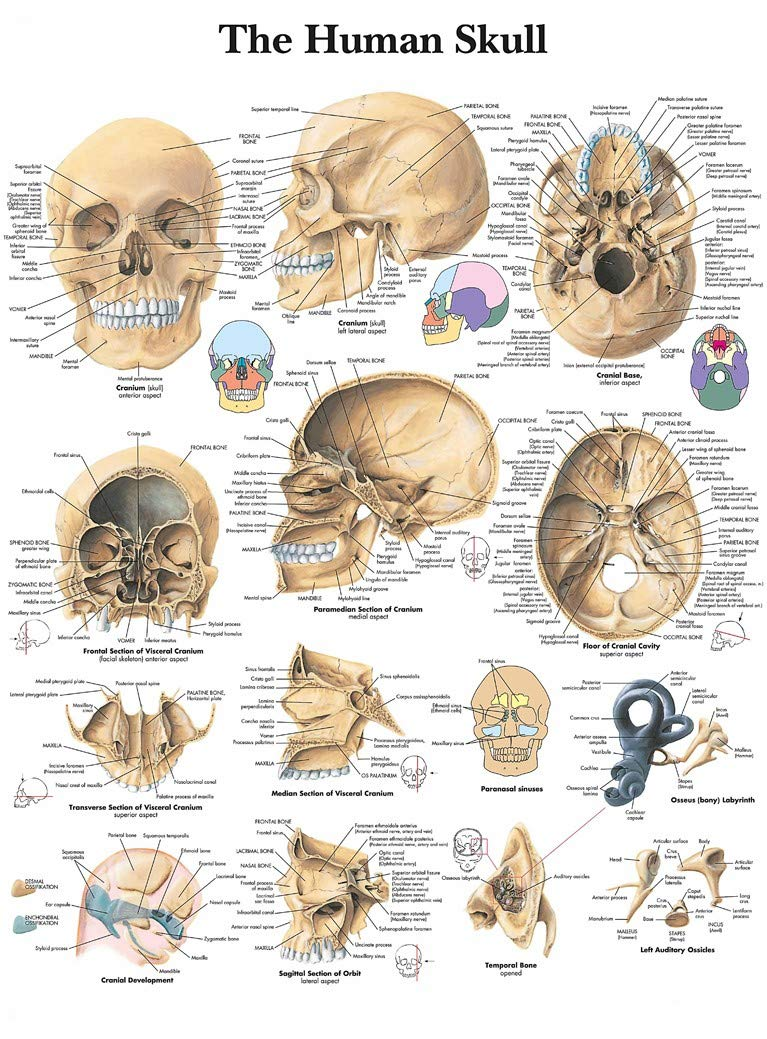 Amazon The Human Skull Anatomy Poster 43 X 32 Posters Prints