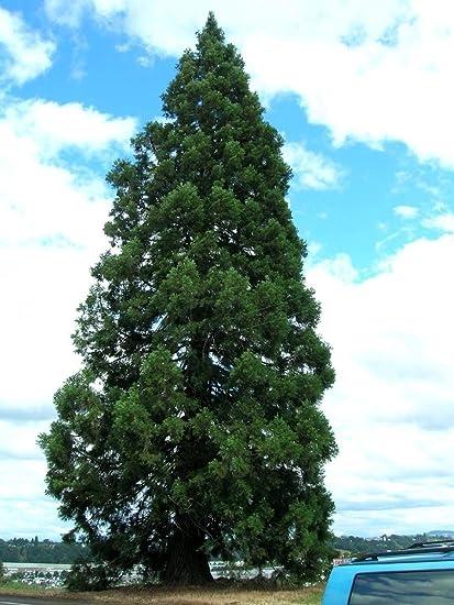 Amazon Com Fresh Seeds Giant Sequoia Sequoiadendron Giganteum Tree 1600 Seeds Fast Evergreen Bonsai Tree Flower Fruit Seeds Garden Outdoor