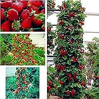 Xuanqin Escalade fraise géante - 100 graines
