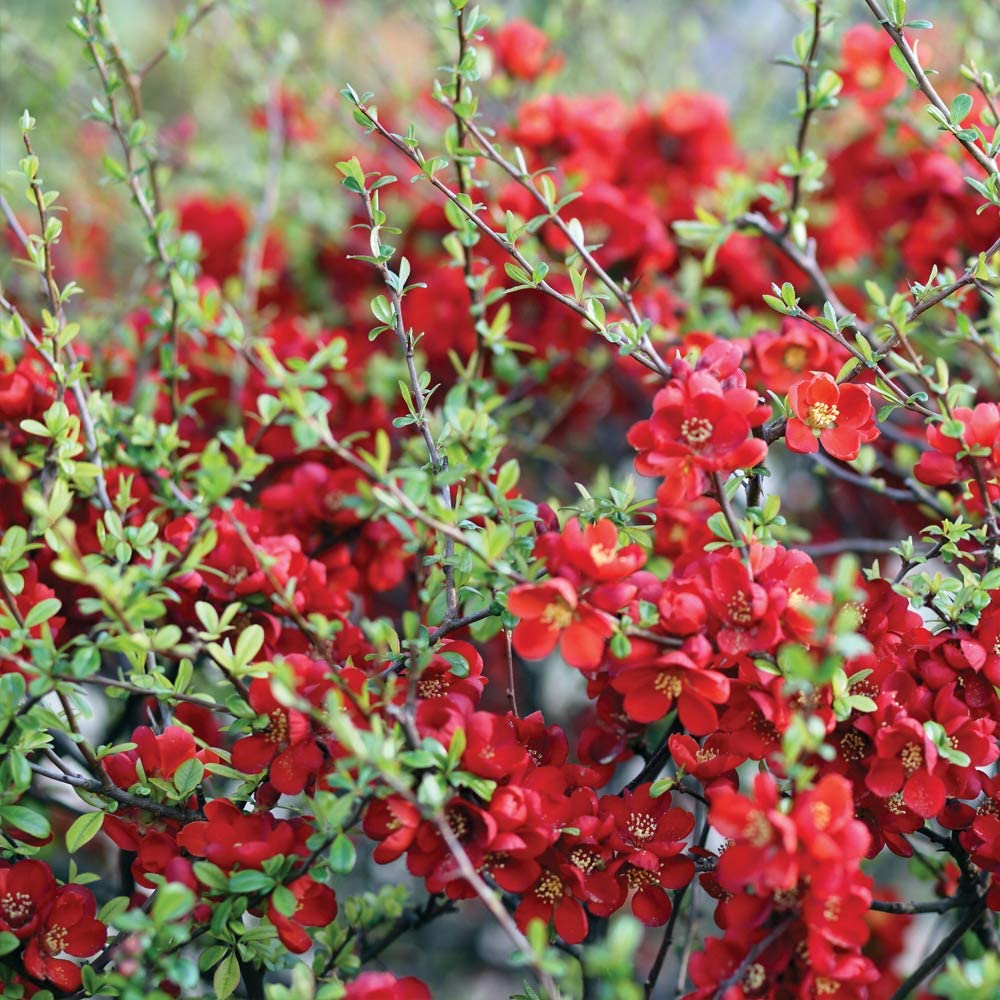 Thompson /& Morgan Hardy Perennial Flowering Shrub Chaenomeles Japonica /'Sargentii/' Patio and Containers 1 x 3.6 Litre Pot Potted Garden Plants Ideal for Cottage Gardens