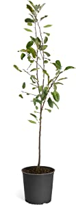 Brighter Blooms - Honeycrisp Apple Tree - Outdoor Fruit Plant, 3-4 Feet, No Shipping to AZ, ID, OR, or CA