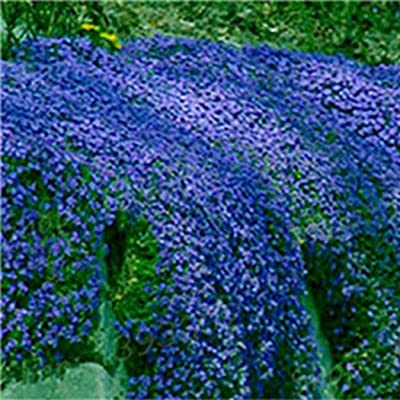 Determina-Garden 100pcs Creeping Thyme Seeds Ground Cover Flower Seeds for Home Office Garden Decoration Planting: Clothing