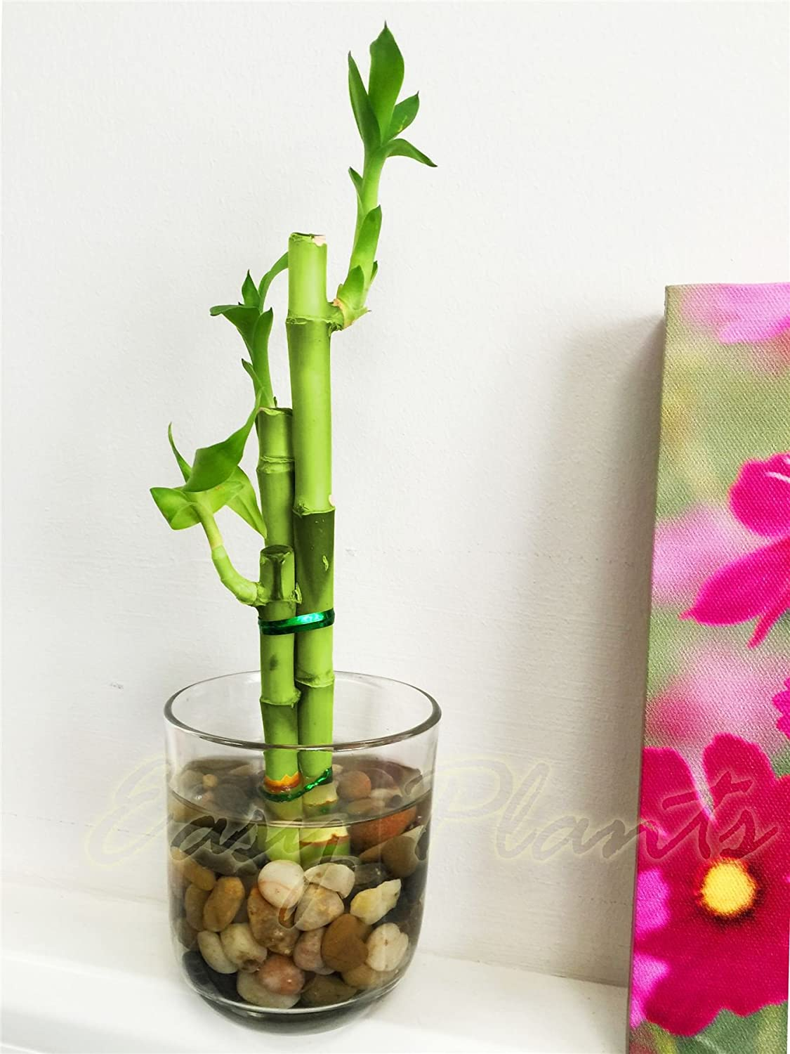 1 lucky bamboo in cylinder round glass vase with pebbles 3 stalks 1 lucky bamboo in cylinder round glass vase with pebbles 3 stalks amazon garden outdoors reviewsmspy