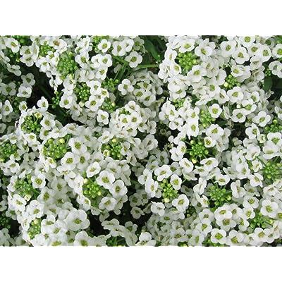 Alyssum Carpet of Snow Nice Garden Flower by Seed Kingdom Bulk 40, 000 Seeds : Garden & Outdoor