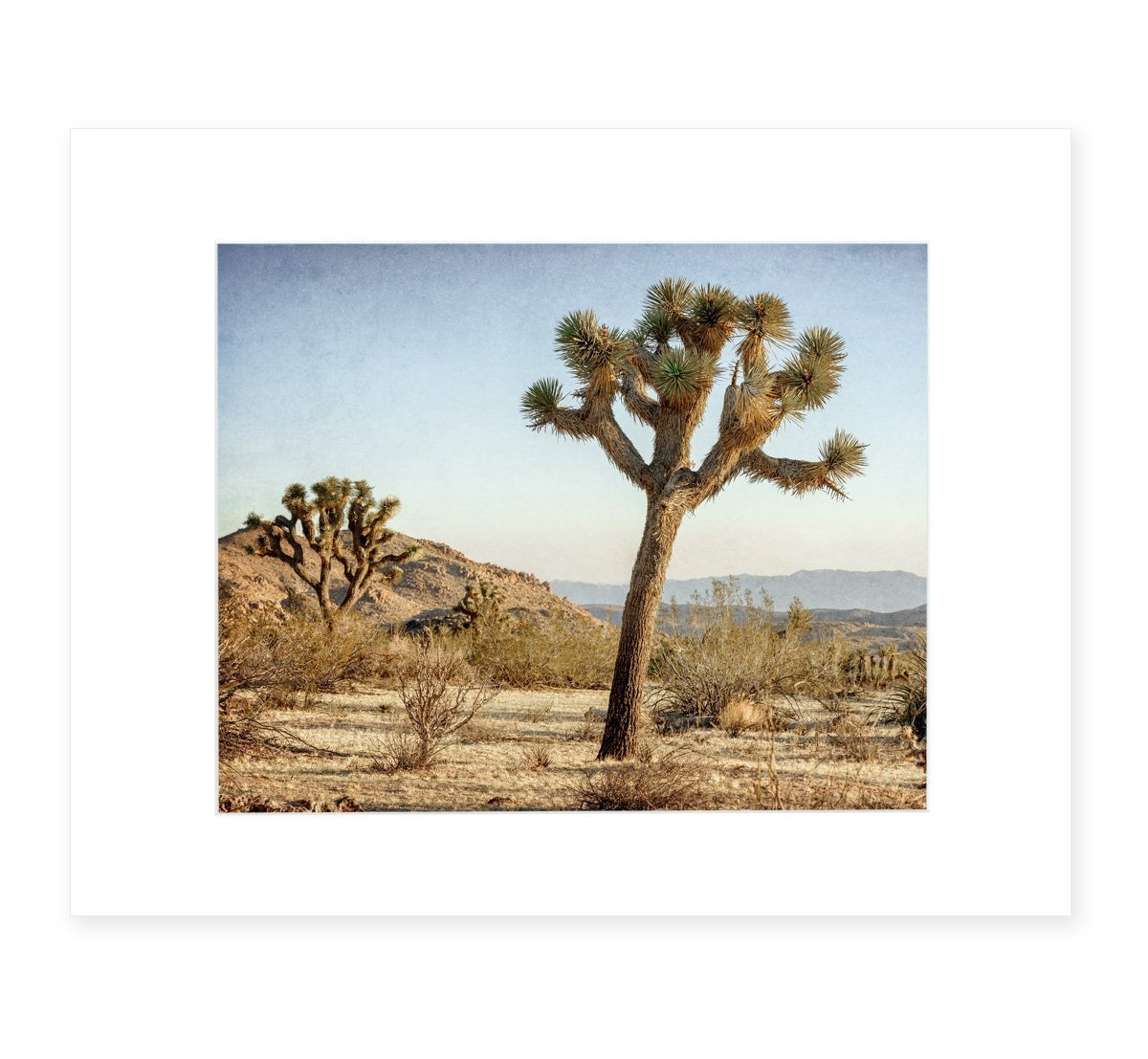 Joshua Tree Wall Art, Southwestern Decor, California Desert Picture, 8x10 Matted Photographic Print (fits 11x14 frame), 'Mighty Joshua' by Offley Green