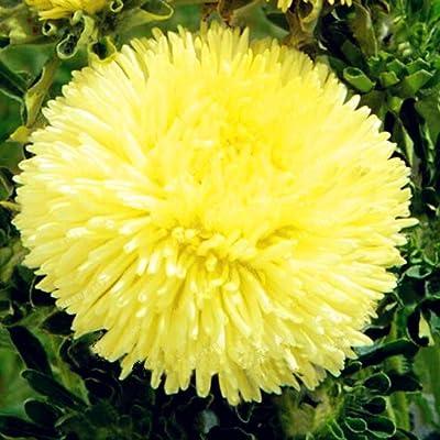 HOTUEEN Mum Seeds Rare Perennial Flower Chrysanthemum Plant 100 Seeds : Garden & Outdoor