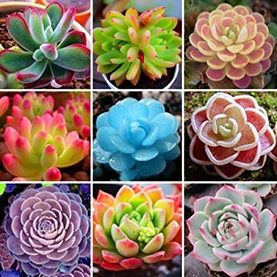 GMNP0di% Succulents Seeds, Mixed Succulent Plant Seeds Ornamental Plant Home Balcony Bonsai Decor - Bonsai Plant Seeds Cacti & Succulents Succulent Plant Seeds : Garden & Outdoor