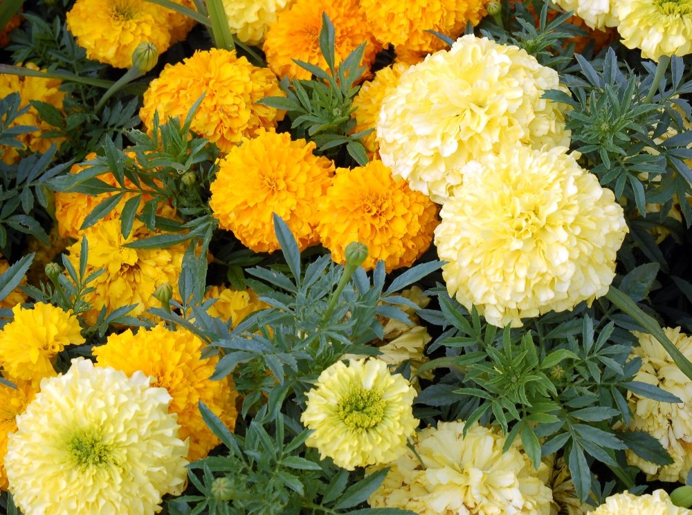 Pl Marigold Semi di vaniglia francese Tagetes erecta nana fl