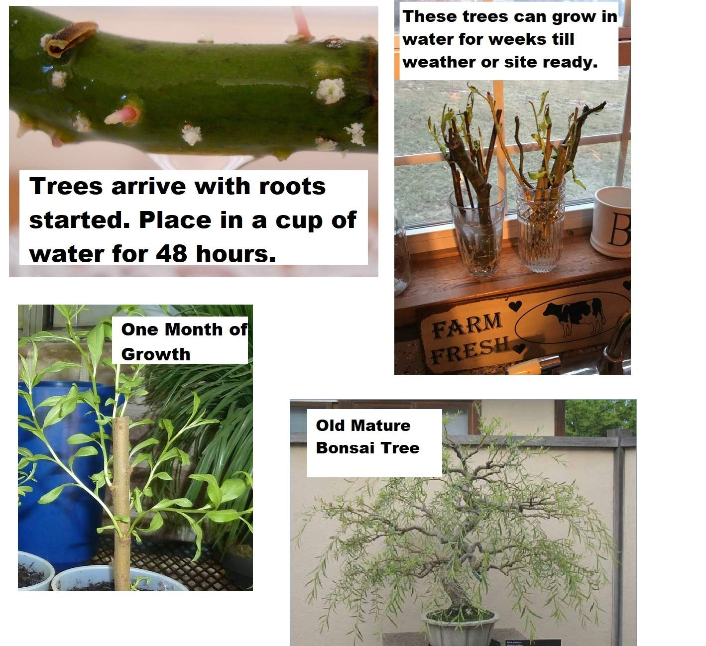 Bonsai Golden Weeping Willow Tree Cutting - Large Thick Trunk Rooited Tree Cut - Mature Bonsai Look Fast - Beautiful Arching Branches by CZ Grain (Image #1)