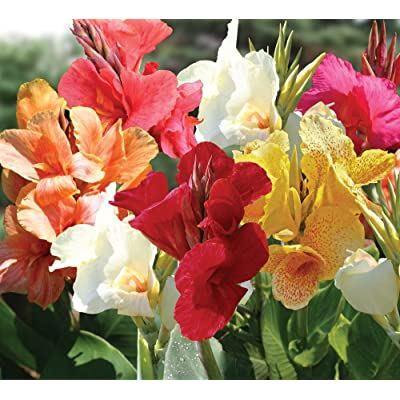 Mixed Tall Canna Lily Value Bag - 6 Bulbs/pkg - Assorted Canna Lilies Red, Yellow, Pink, Orange : Garden & Outdoor