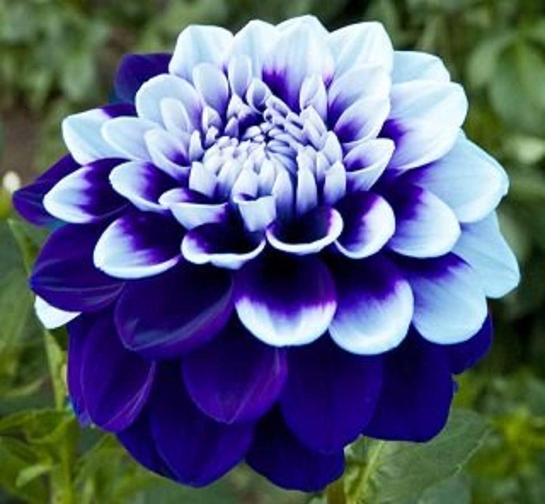 Amazon Com Blue White Dahlia Flower Seeds Garden Outdoor