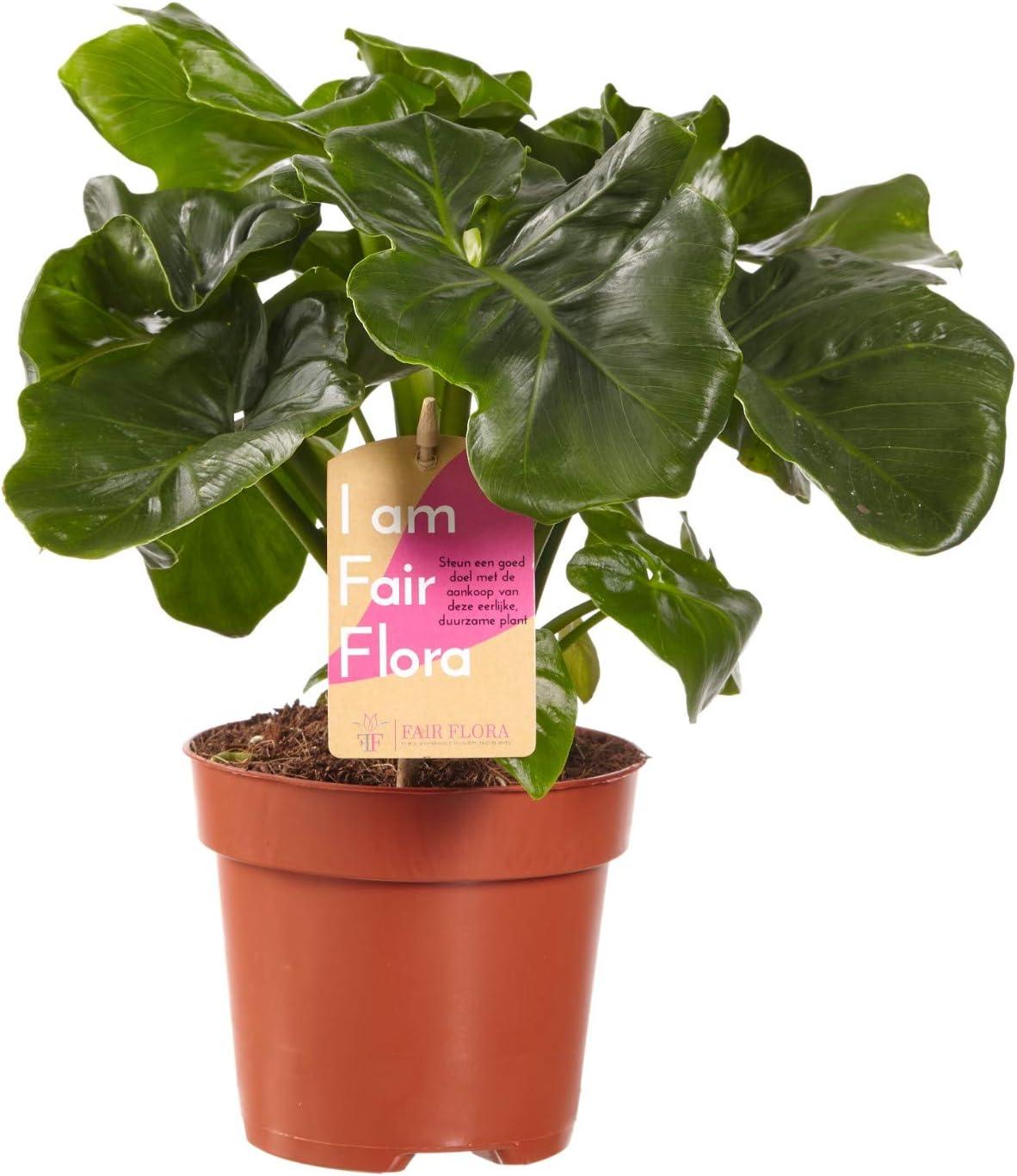 Zimmerpflanze von Botanicly H/öhe: 40 cm Baumfreund Philodendron Atom
