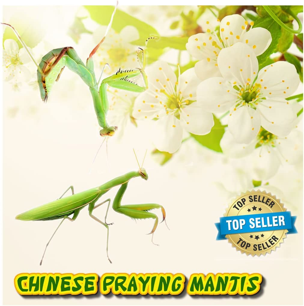 Insectsales.com (Live) Chinese Praying Mantis Nymph - (Educational) (FedEx - 2 Day Express)