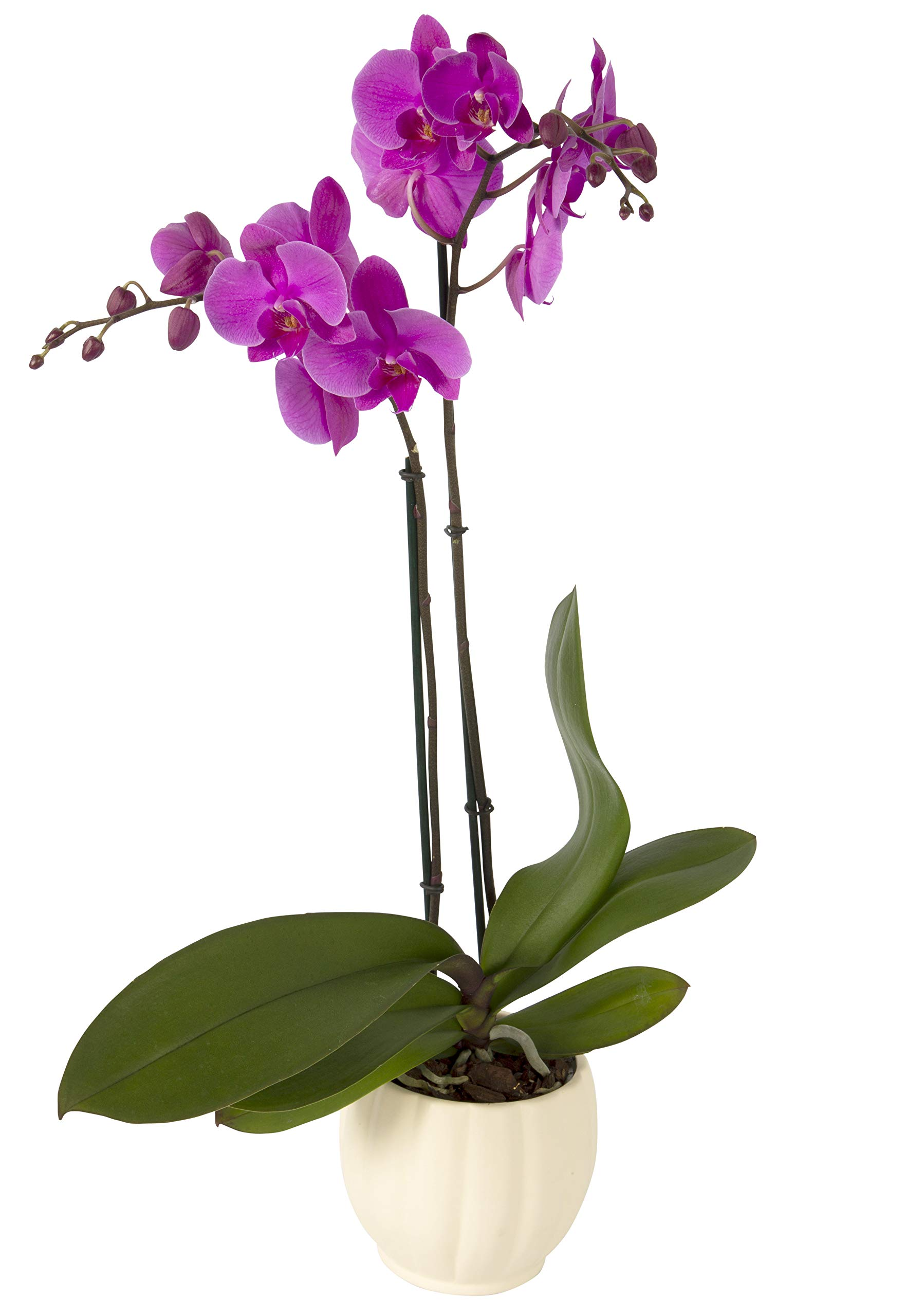 Color Orchids Live Blooming Double Stem Phalaenopsis Orchid Plant in Ceramic Pot, 20'' - 24'' Tall Purple