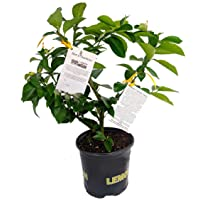 "Meyer Lemon Tree + Certificate -Fruiting Size- 8"" Pot -No Ship TX,FL,AZ,CA,LA,HI"