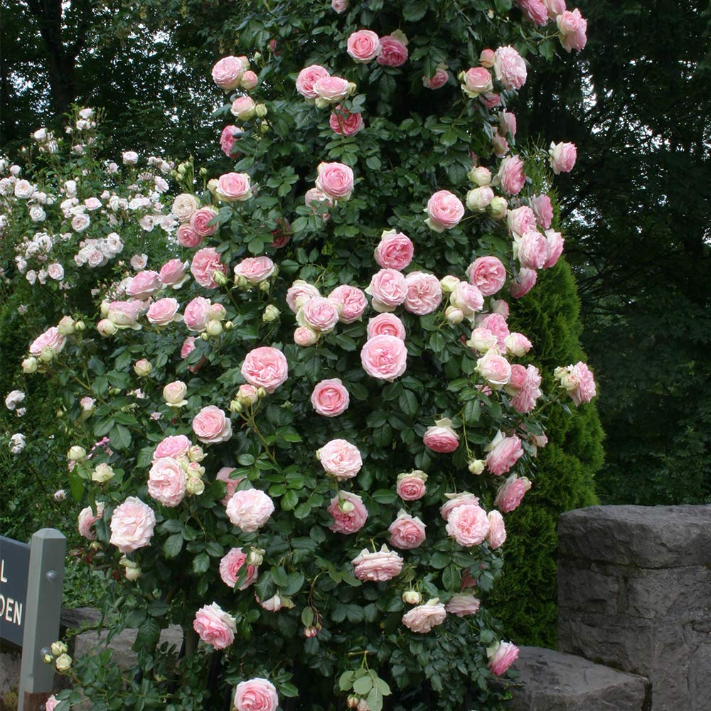 Own-Root One Gallon Eden Climbing Rose by Heirloom Roses by Heirloom Roses (Image #2)