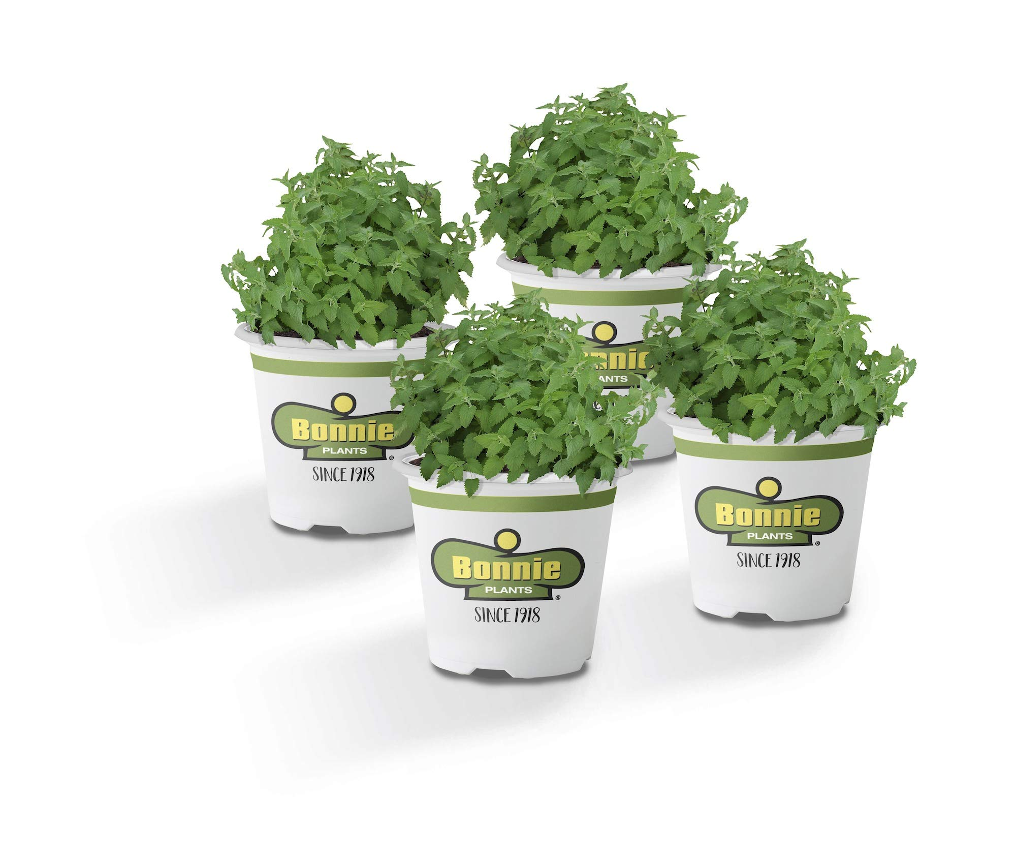 Bonnie Plants Catnip Live Herb Plants - 4 Pack | Pet Friendly | Grows Great In Containers | Fresh For Cats & Dries For Cat Sachets