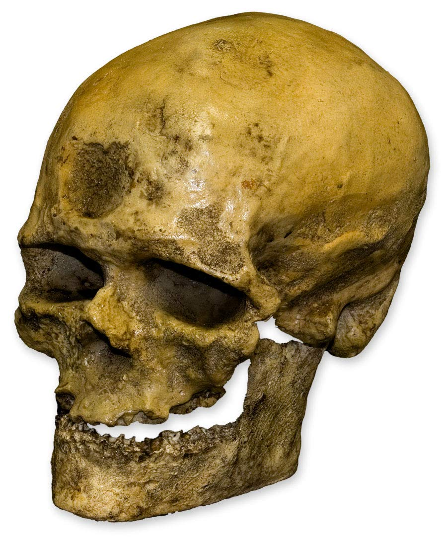Cro-Magnon -1 Skull (Teaching Quality Recreation)