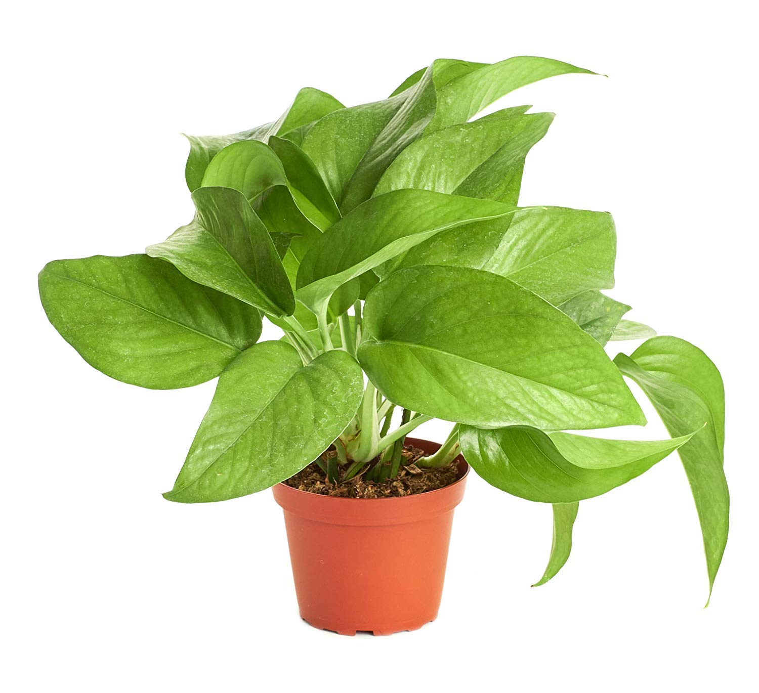 Shop Succulents     Pothos 'Devil's Ivy' Naturally Air Purifying, Easy Care, Live Indoor House Plant in 4'' Grow Pot