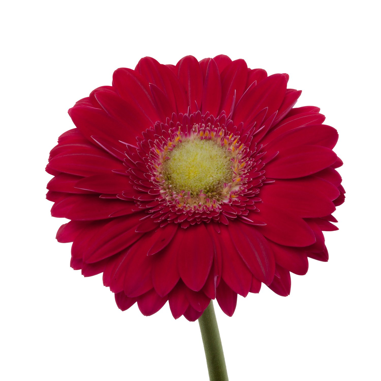 Gerbera Light Center | Dark Pink - 40 Stem Count by Flower Farm Shop