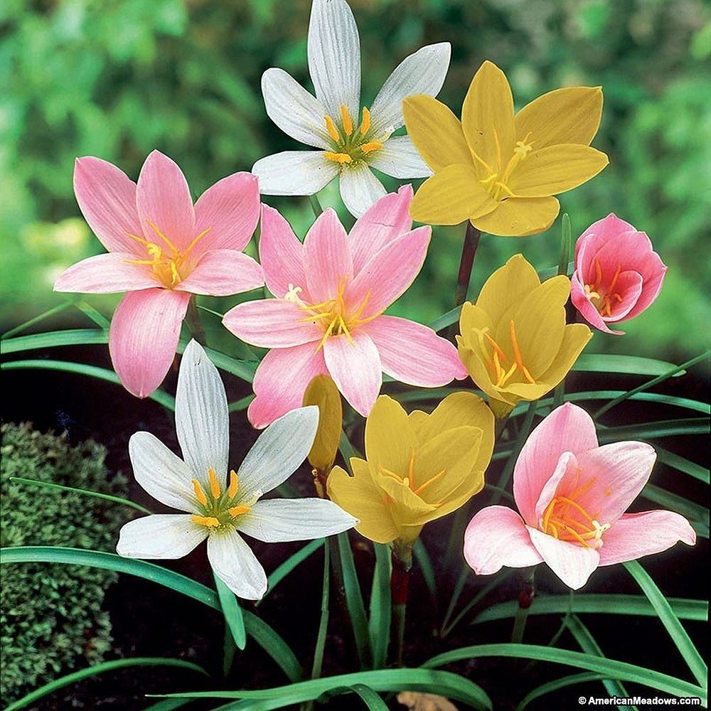 Seedsnpots Zephyranthes Rain Lily Bulbs Multicolour Pack Of 10