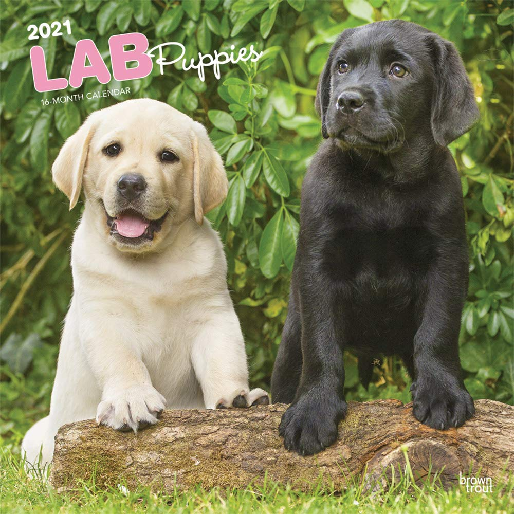 Lab Puppies 2021 12 x 12 Inch Monthly Square Wall Calendar