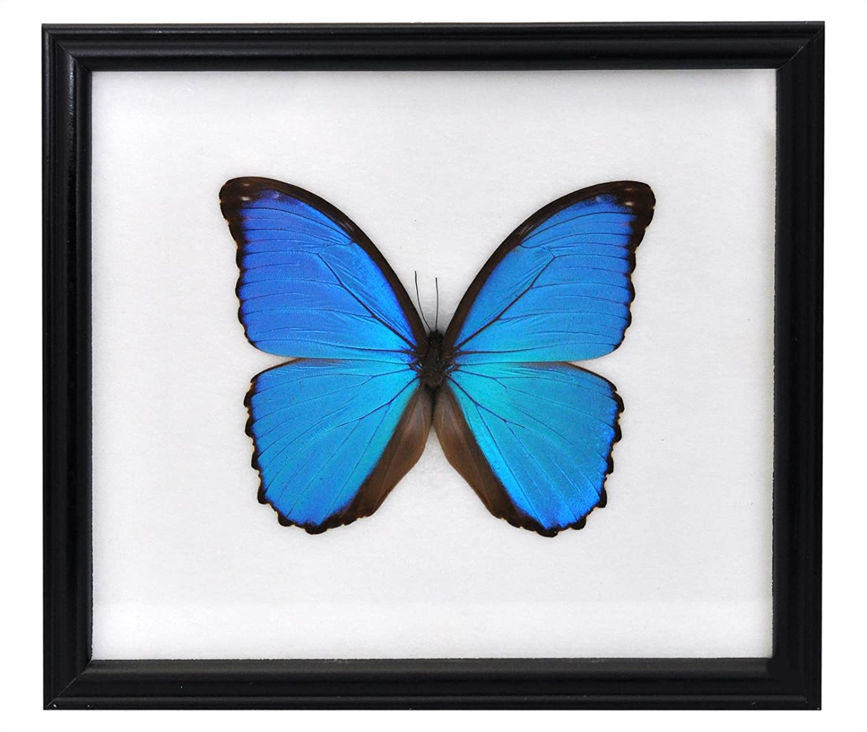 Amazon.de: Wilai Schmetterling im Bilderrahmen, Didius Blue Morpho ...