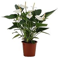 Planta de interior de Botanicly – Anturios – Altura: 40 cm – Anthurium Baby White