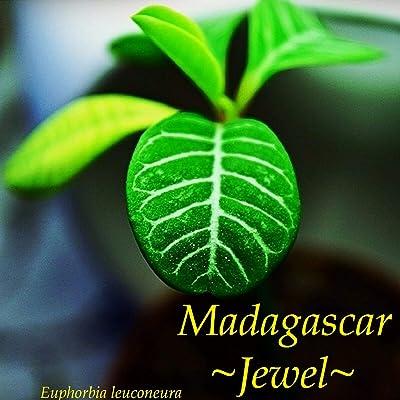 Cutdek ~Madagascar Jewel~ Euphorbia leuconeura Unique Bonsai Palmlike Live Potted Plant: Garden & Outdoor