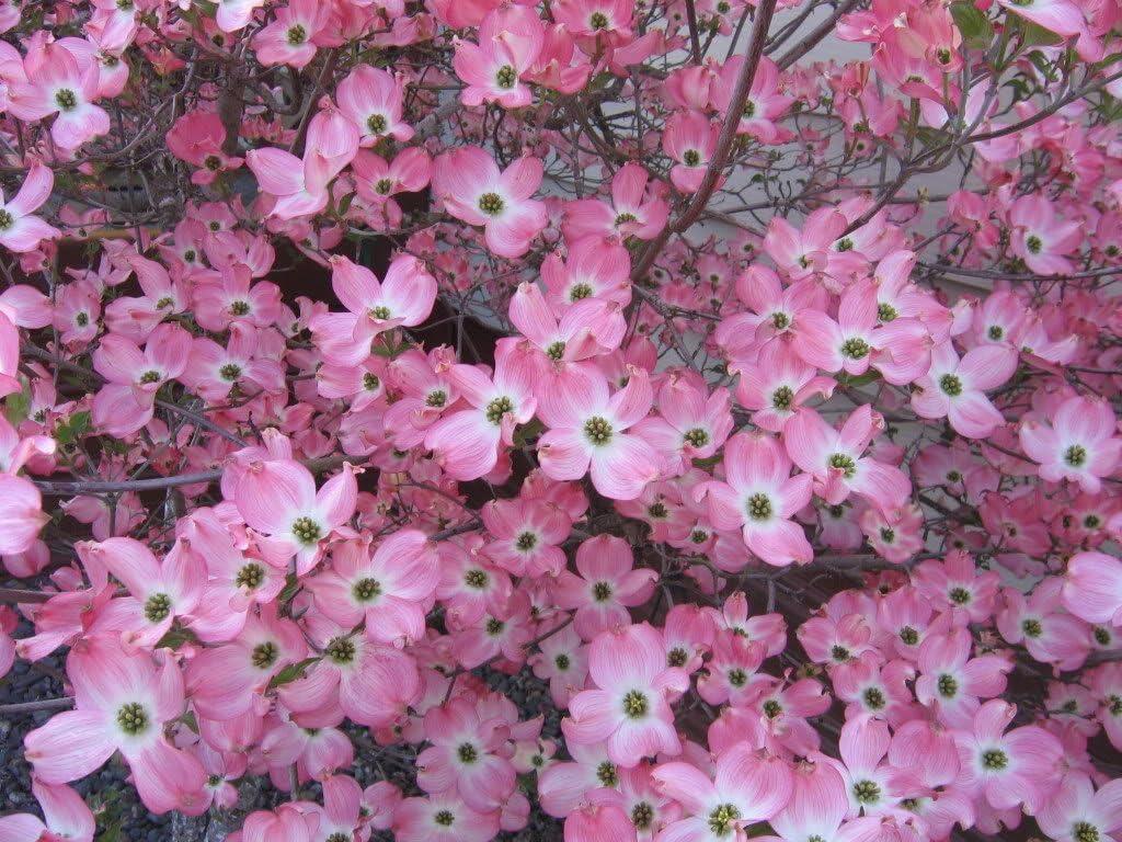 Seed Cornus Florida Dogwood Flowering Tree GROW FOOT YEAR Fruit PART SHADE Seeds