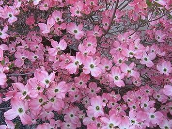 Amazon 5 Flowering Pink Dogwood Cornus Tree Seeds By Seedville