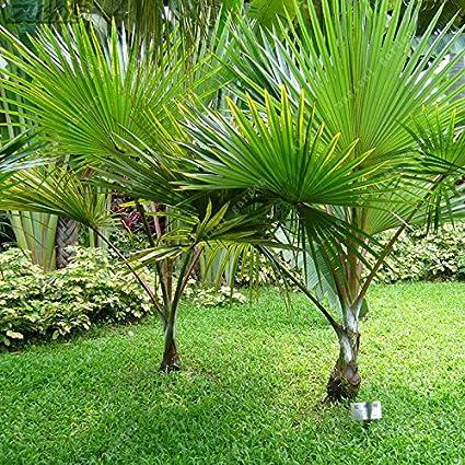 Amazon.com: 5pcs chino palmera semillas Verde raro barato ...