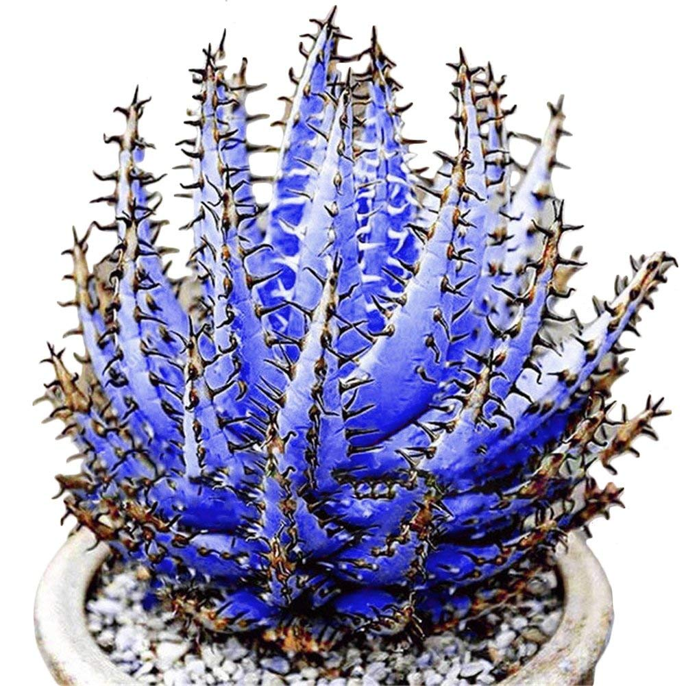 Vektenxi Premium Quality 100 Pcs Colorful Aloe Vera Succulent Herbal Bonsai Balcony Garden Plants Decor Purple