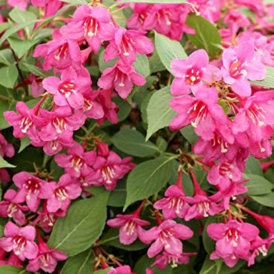 (1 Gallon) Pink Weigela, Tons of Pink Flowers, Old Traditional Favourite, Hydrangeas Shrub, Evergreens, Gardenia-Gallon Size: Toys & Games