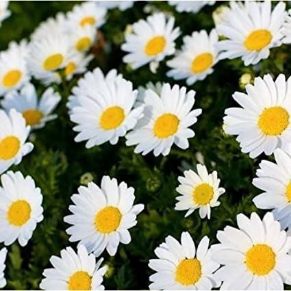 Chrysanthemum white majestic flower seeds mum flower seeds 400 chrysanthemum white majestic flower seeds mum flower seeds 400 seeds by allthatgrows mightylinksfo