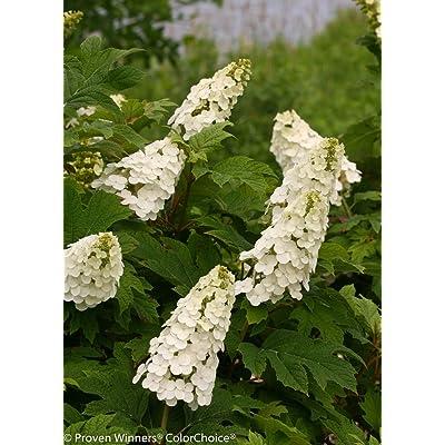 Gatsby Gal Oakleaf Hydrangea - 4'' Pot - Proven Winners: Garden & Outdoor