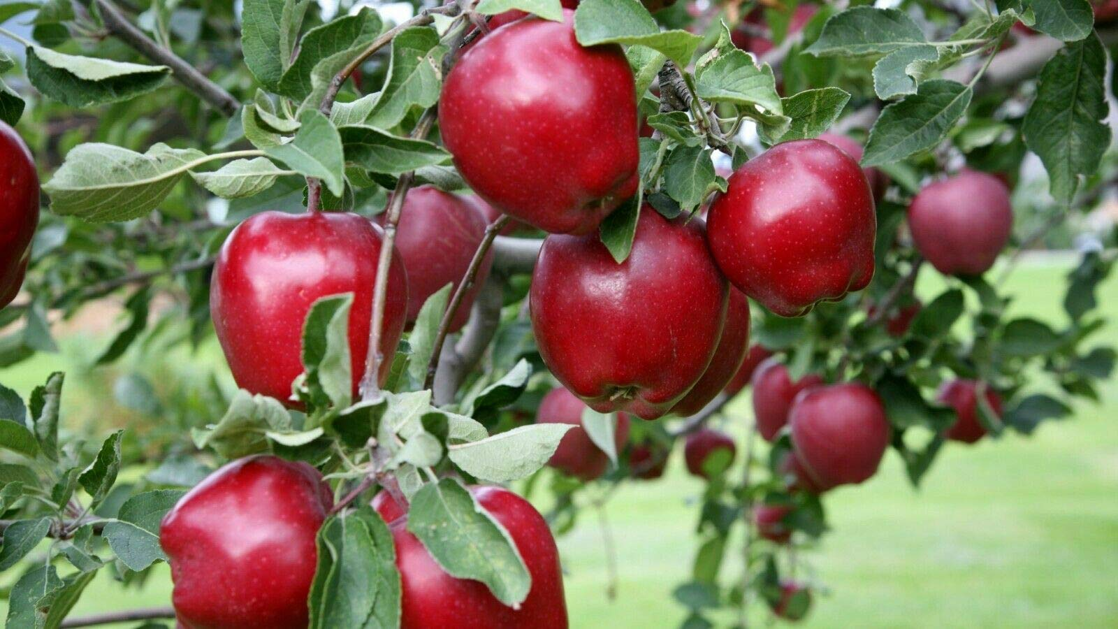 Semi Dwarf Red Delicious Live Tree Apple Plant #AD01
