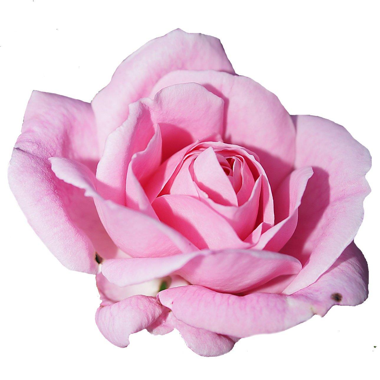 """Many Happy Returns"" Garden Rose Bush in 3.5lt Pot (Live Plants) Longacres"